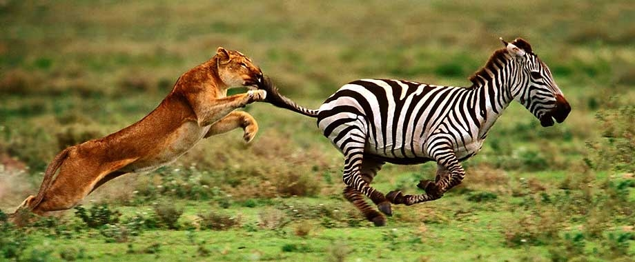 1356525005_Lion-hunting-zebra